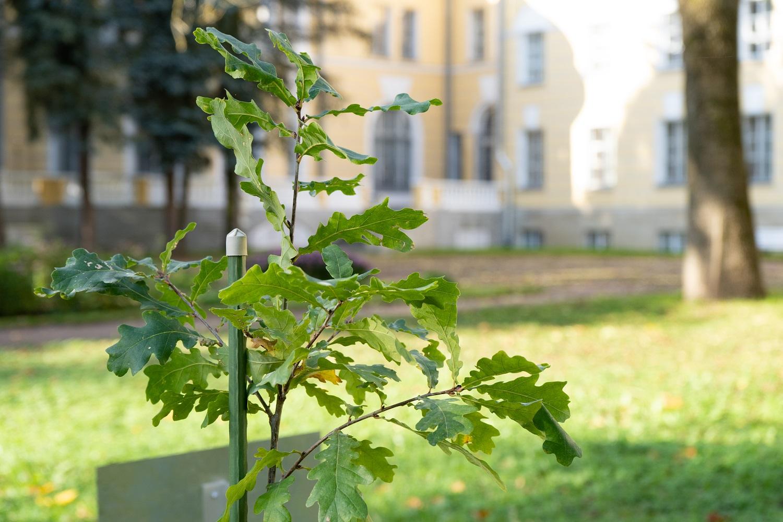 6.Дуб от дерева-памятника живой природы из Летнего сада Петра I в усадьбе Кочубеев